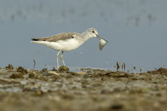Common Greenshank With A Fish Royalty Free Stock Images