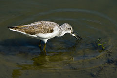 Common greenshank. Foraging in the river Royalty Free Stock Images