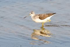 Common greenshank looking for food stock photo