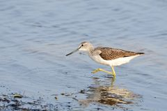 Common greenshank looking for food stock photos