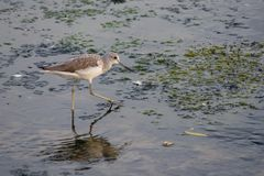 Common Greenshank searching for food. Common Greenshank searching for food in Raw al Khor, Dubai, United Arab Emirates royalty free stock photos