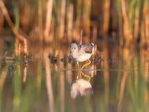 The common greenshank Tringa nebularia Royalty Free Stock Photography