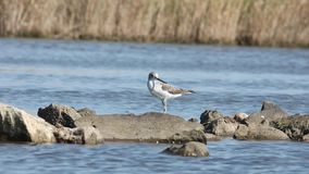 Common Greenshank on Rock. Common greenshank, Tringa nebularia, is perching on rock by the water and looking around stock video footage
