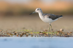 Common greenshank Royalty Free Stock Images