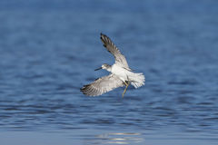 Common greenshank (Tringa nebularia) Royalty Free Stock Photography