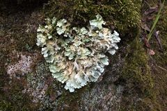 Heart shaped lichen. Common greenshield lichen growing in the shape of a heart stock photo