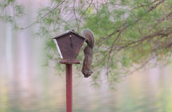 Common grey female squirrel hanging from a bird feeder. Stock Photography