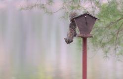 Common grey female squirrel hanging from a bird feeder. Royalty Free Stock Photos