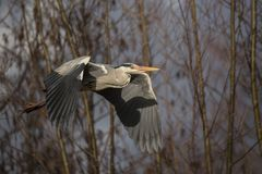 Common grey heron Royalty Free Stock Image