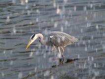 Grey heron fishing under waterfall royalty free stock photos