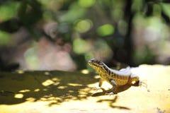Common grey lizard. Royalty Free Stock Photo