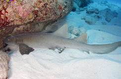 Common grey nurse shark , utila, honduras Stock Photo