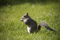 Common grey Squirrel Royalty Free Stock Image