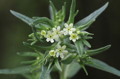 Common Gromwell - Lithospermum officinale Royalty Free Stock Photos