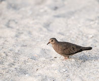 Common Ground-Dove on Beach and Sand in Mexico Stock Photos