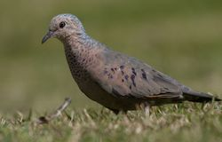 Common Ground-Dove close view royalty free stock photography
