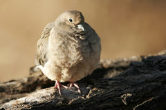 Common Ground Dove, Columbina passerina Royalty Free Stock Photos
