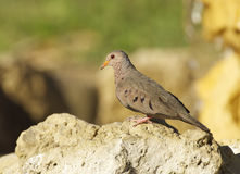 Common Ground Dove, Columbina passerina Royalty Free Stock Photography
