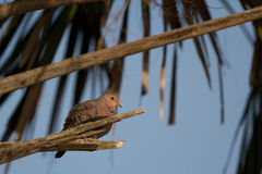 Common Ground Dove, Columbina passerina Stock Images