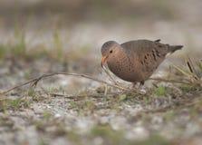 Common Ground Dove in Florida stock photo