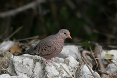 Common Ground Dove in the Florida Everglades Royalty Free Stock Photography
