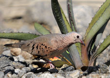 Common Ground Dove Stock Photography