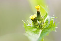 Common groundsel. Close-up of a senecio vulgaris, often known by its common name Common groundsel. The image is taken with a high-quality macro lens Royalty Free Stock Photo