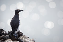 Common guillemot Stock Photo