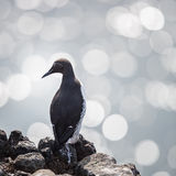 Common guillemot Royalty Free Stock Images