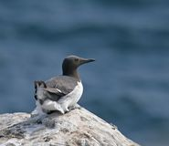 Common Guillemot on Inner Farne Royalty Free Stock Photo
