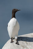 Common Guillemot Stock Images