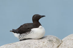 Common Guillemot Stock Image