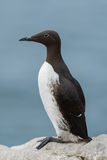 Common Guillemot Stock Photos