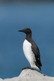 Common Guillemot Royalty Free Stock Photography