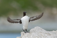 Common Guillemot Royalty Free Stock Image