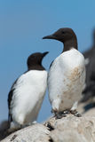Common Guillemot Stock Photography