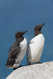 Common Guillemot Royalty Free Stock Photo