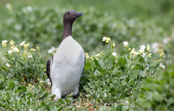 Common guillemot,  Uria aalge Royalty Free Stock Photos