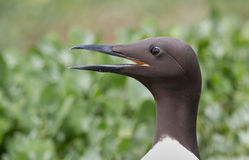Common guillemot,  Uria aalge Stock Photos