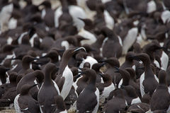 Common guillemot,  Uria aalge Royalty Free Stock Image