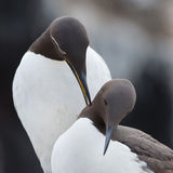 Common guillemot,  Uria aalge Royalty Free Stock Photography