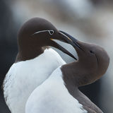 Common guillemot,  Uria aalge Stock Images