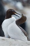 Common guillemot,  Uria aalge Stock Photography