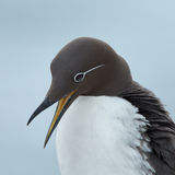 Common guillemot,  Uria aalge Royalty Free Stock Photo