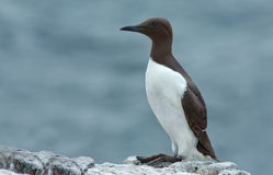 Common guillemot,  Uria aalge Stock Photo