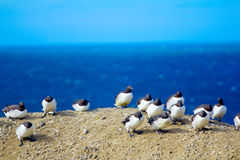 Common guillemots against very strong wind. Barents sea. Novaya Zemlya Archipelago Stock Image