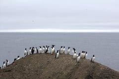 Free Common Guillemots Spectacled Morphs Sit Over The Barents Sea, Novaya Zemlya 1 Royalty Free Stock Images - 78513169
