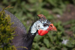 Common guinea fowl (Numida meleagris). Royalty Free Stock Images