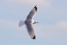 Common Gull. Flying in the sky Royalty Free Stock Photography