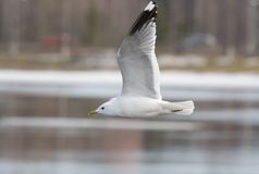 Common Gull Royalty Free Stock Photos